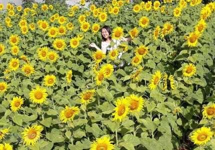 Du lịch Pleiku tham quan vườn hoa hướng dương rực rỡ nơi phố núi