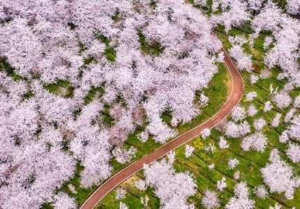 Những cung đường hoa anh đào bung nở
