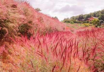 Chiêm ngưỡng vẻ đẹp đồi cỏ hồng Đà Lạt