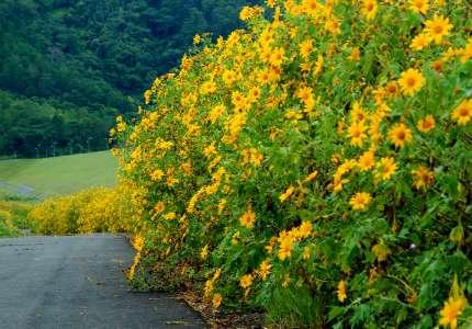 Những địa điểm ngắm hoa dã quỳ Đà Lạt Tháng 10
