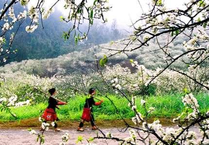Du lịch Mộc Châu giữa mùa mận nở trắng đồi