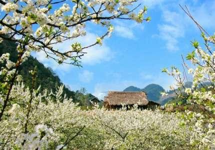 Du Lịch Mộc Châu mùa hoa mận nở trắng trời