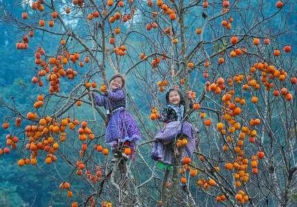 Du lịch Mộc Châu mùa thu với đồi hồng trĩu quả