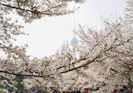 Du lịch Trung Quốc mùa hoa anh đào