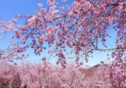 Mùa hoa anh đào nở rộ tại Trung Quốc