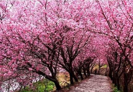 Những điểm ngắm hoa anh đào đẹp nhất tại Trung Quốc