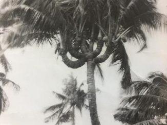 Dừa 7 ngọn, 4 ngọn, 3 ngọn ở Hà Tiên