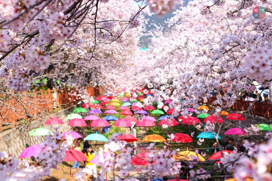 Du Lịch Hàn Quốc Mùa Hoa Anh Đào 5 Ngày(Bay Korean Air (KE) 5*****)