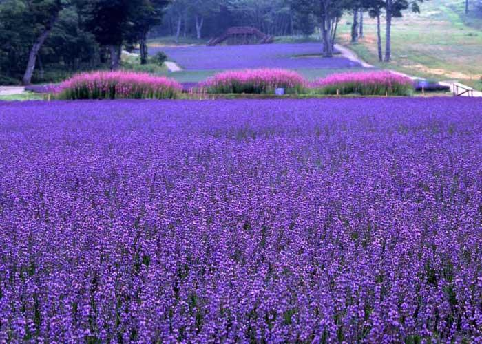 Du Lịch Nhật Bản Ngắm Hoa Lavender 5 Ngày 4 Đêm Từ Hà Nội